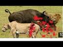 Бои животных пойманы на камеры - самые удивительные дикие Нападения животных