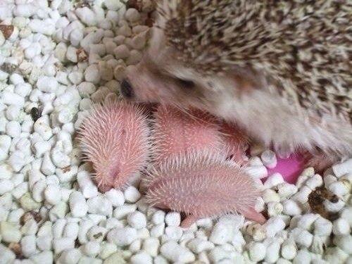 ежата с мамой