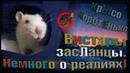 (Р) Крысы альбиносы, или вистары засЛанцы. Немного о реалиях... (Fancy Rats | Декоративные Крысы)