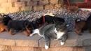 9 köpek vahşice kediye saldırırken görüntülendi! 18 :)