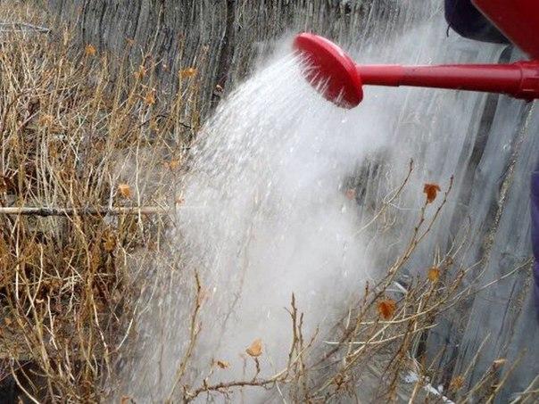 Когда поливать кипятком кустарники