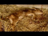 Male dairy calves get shot - Jimmy and the Giant Supermarket