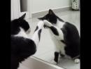 Котики перед зеркалом