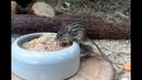 Барбарийская полосатая мышь. Lemniscomys barbarus
