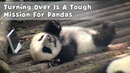 Turning Over Is A Tough Mission For Pandas | iPanda