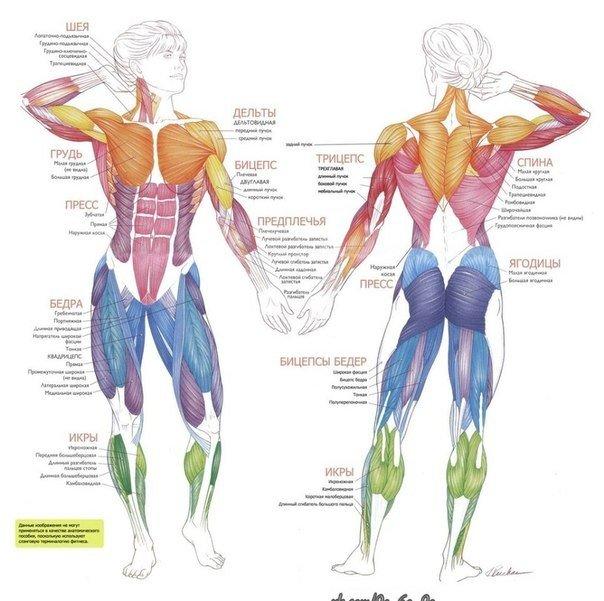 Анатомический атлас мышц человека