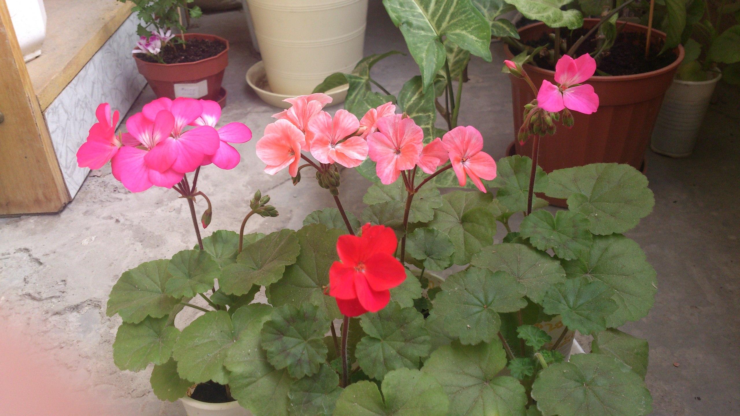 Герань - уход в домашних условиях для начинающих, чтобы растение цвело