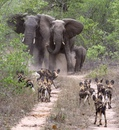 Африканские слоны повстречались с гиеновидными собаками…