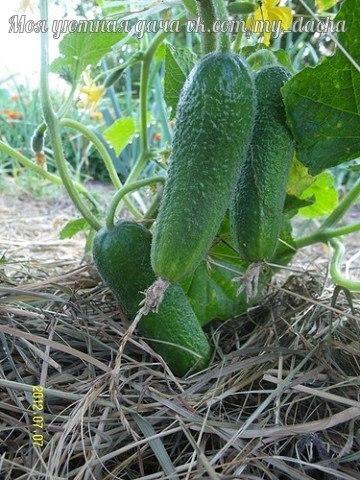 Огурцы из-под пленки Я более 40 лет занимаюсь выращиванием различных овощей, ежегодно провожу огородные опыты и наблюдения. В этом году я сравнивал эффективность 4 видов мульчи: опилок, стружки,