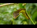 Snake-mimic caterpillar, Hemeroplanes triptolemus, Sphingidae