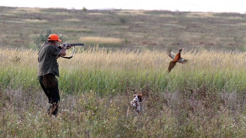 Охота на фазана 2018   Фазан из под ног   Как облаивает лайка фазана?