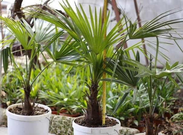 Трахикарпус Трахикарпус красивая, раскидистая пальма, которая встречается в Крыму. В роду насчитывается 8 видов пальм, но этот вид распространён на Крымском полуострове, так как мягкий климат