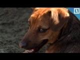 Спасенную в Сочи собаку забрали в Перу