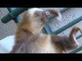 Прикольные животные ленивцы