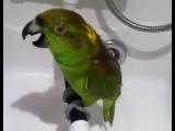 Попугай купается под душем и поет на всю катушку