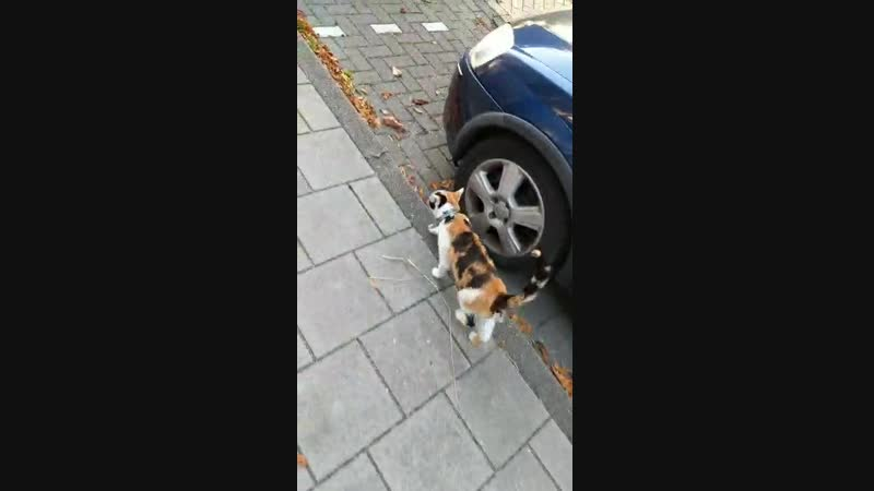 Выгуливаю кошку