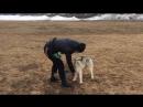 ОКД Начально обучение щенка Сибирского хаски 7 мес кличка Санни