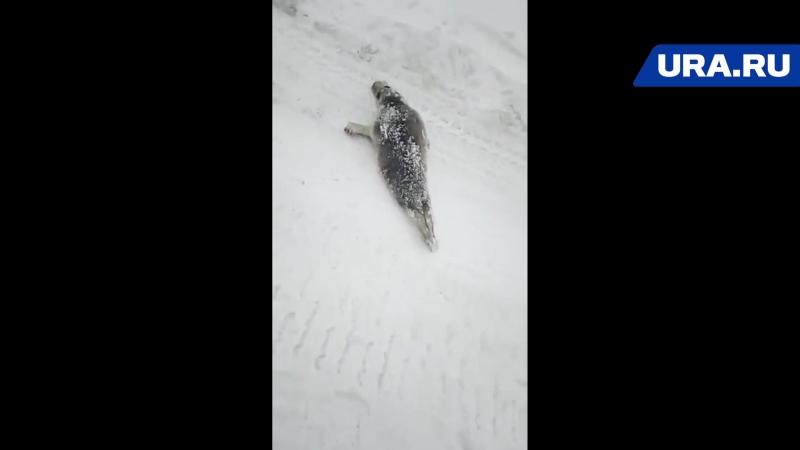 Жители ямальского поселка встретили на улице тюленя