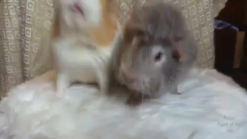 Морские свинки делят яблоко