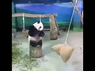 Меткость панды