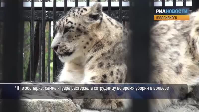 ЧП в зоопарке - самка ягуара растерзала женщину