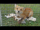 Baby fox drinking water