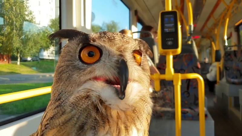 Сова едет в трамвае и в автобусе Филин Ёль и общественный транспорт