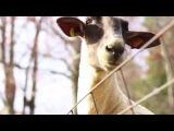 животные - козлы как люди,разговаривают и даже поют