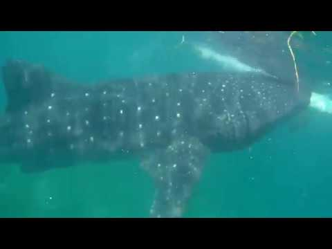 Плаваем с китовыми акулы, Ослоб, Филиппины