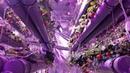 Клубника на DeepSun300 Гидропоника в закрытом помещении 4 й месяц