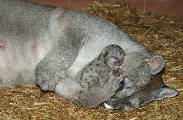 20 животных, которые научат быть хорошими родителями: ↪ Пума с мамой ☺ ❤