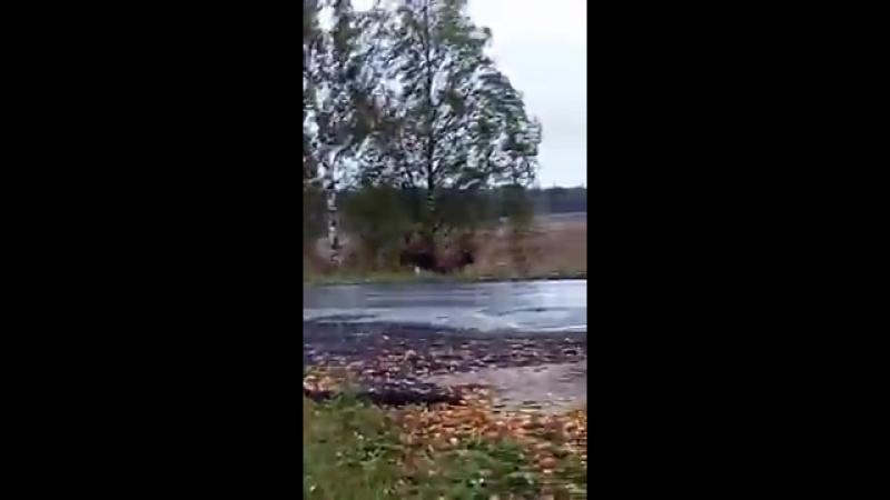 Лось в деревне Куликово перебегает дорогу