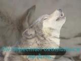одинокий волк. самая красивая в мире мелодия