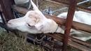 Путешествие по Латвия Козья ферма зааненов в Гаркалне
