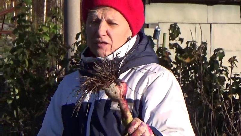 Сбор урожая озимого чеснока посаженного весной.
