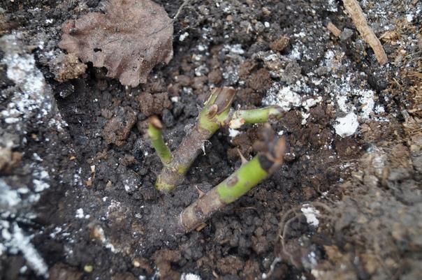 Как спасти розы после неудачной зимовки Неопытные садоводы на первых порах сталкиваются с целым рядом проблем, связанных с выращиванием роз. Особенно много разочарований случается весной, когда