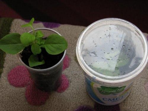 Петуния из черенков выращивание 29