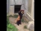 Радостная красная панда