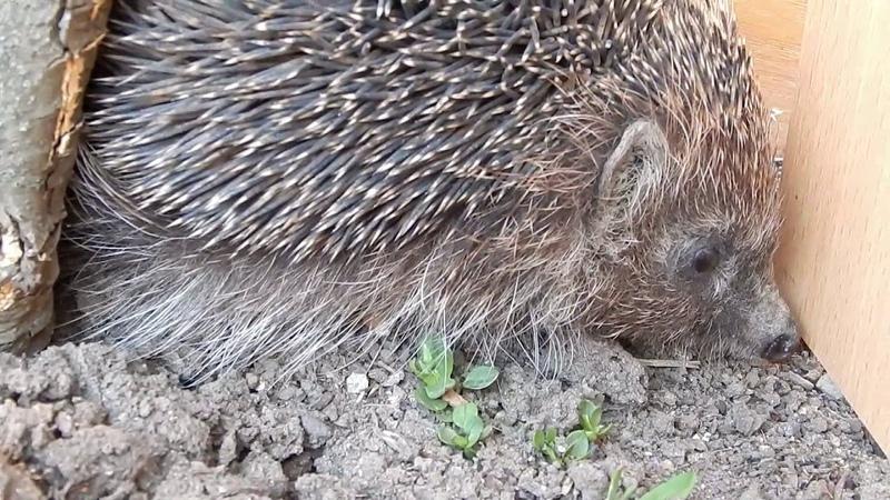 К нам поселился ежик We have settled the hedgehog