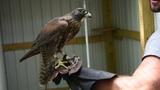 Feeding The Birds Goshawk, Barn Owl, Gyr Aplomado Hybrid