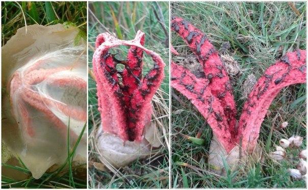 Австралия полна чудес, одно из них — вот эти милые грибочки под названием Пальцы дьявола. Ну нахрен эту Австралию.