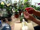Как поливать орхидеи. Как я поливаю орхидею. Личный опыт. Фаленопсис, Ванда, Миль...