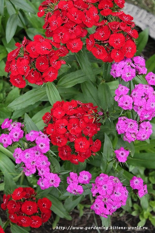 Гвоздика турецкая – украшение для любого уголка сада