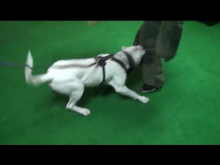 Dogo Argentino Achillies Protection training!