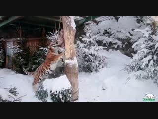 Кормление амурского тигра Амадея