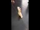 Cockatoo Parrot barks like a