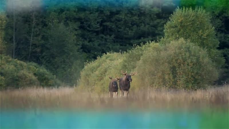 Лось во время гона. Киносъемка на вабу. Elk during the rut