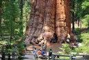 Генерал Шерман - самое большое дерево на планете…