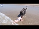 Dog fears his owner's granddaughter is being washed away by small waves so drags her back to safety