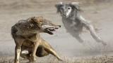 Эти собаки сильнее волка, Топ 5, Волкодавов